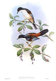 Rufous-backed sibia httpsuploadwikimediaorgwikipediacommonsthu