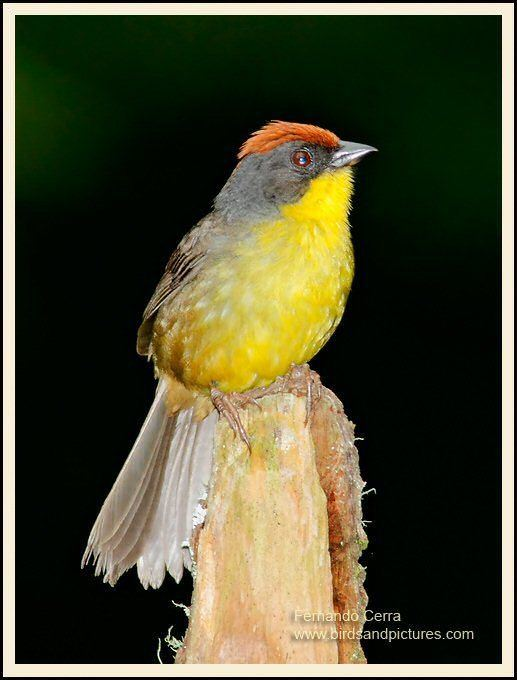 Rufous-capped brush finch Mangoverde World Bird Guide Photo Page Rufouscapped BrushFinch