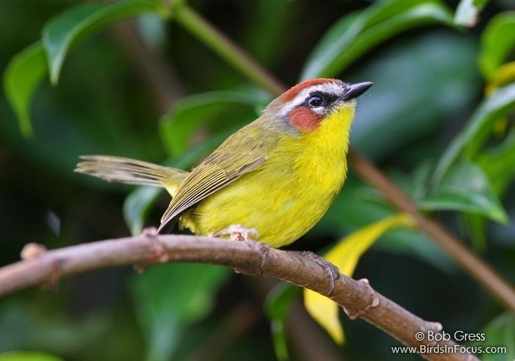 Rufous-capped warbler Birds in Focus Rufouscapped Warbler