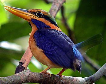 Rufous-collared kingfisher httpssmediacacheak0pinimgcomoriginals06