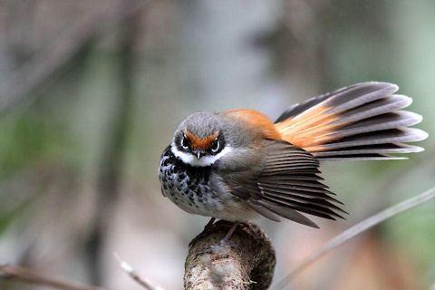 Rufous fantail Rufous Fantail Bushpea 819