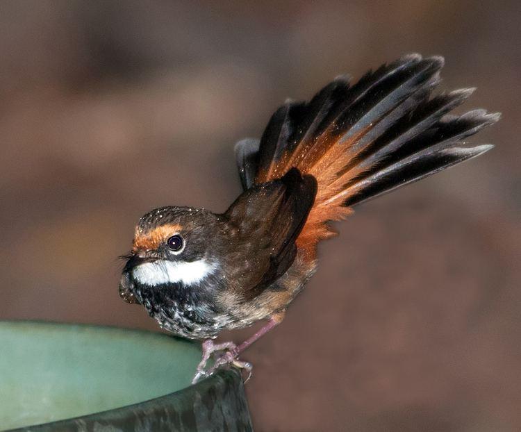 Rufous fantail Rufous Fantail BIRDS in BACKYARDS