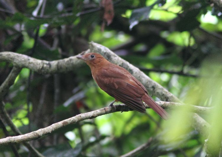 Rufous piha Rufous Piha photo William Price photos at pbasecom