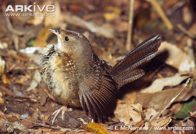 Rufous scrubbird cdn1arkiveorgmedia45459857A1C0404E63AA338