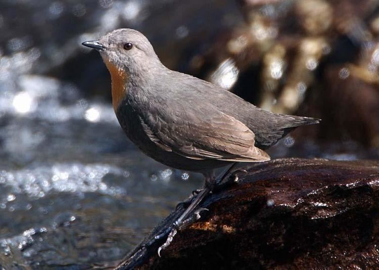Rufous-throated dipper Rufousthroated Dipper Cinclus schulzi videos photos and sound