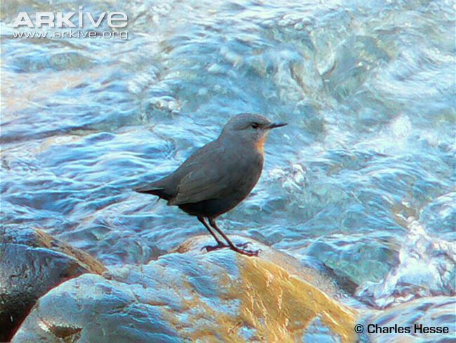 Rufous-throated dipper Rufousthroated dipper videos photos and facts Cinclus schulzi