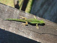 Réunion Island day gecko httpsuploadwikimediaorgwikipediacommonsthu