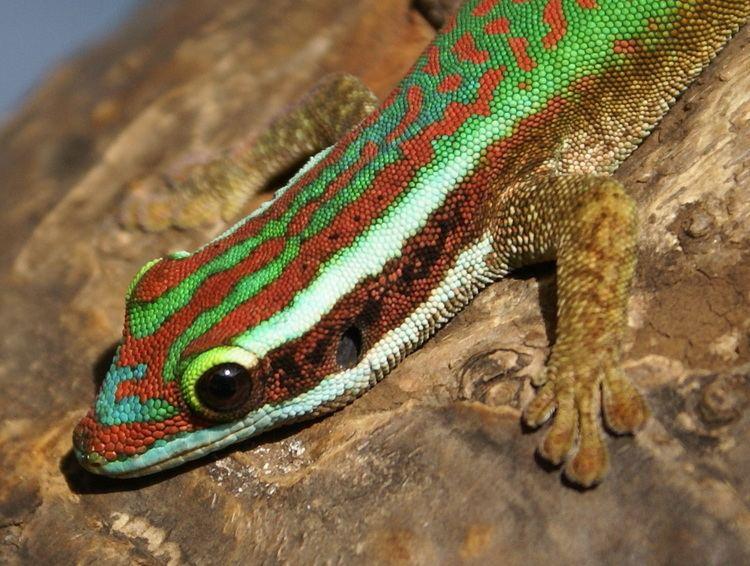 Réunion Island ornate day gecko httpsuploadwikimediaorgwikipediacommons99
