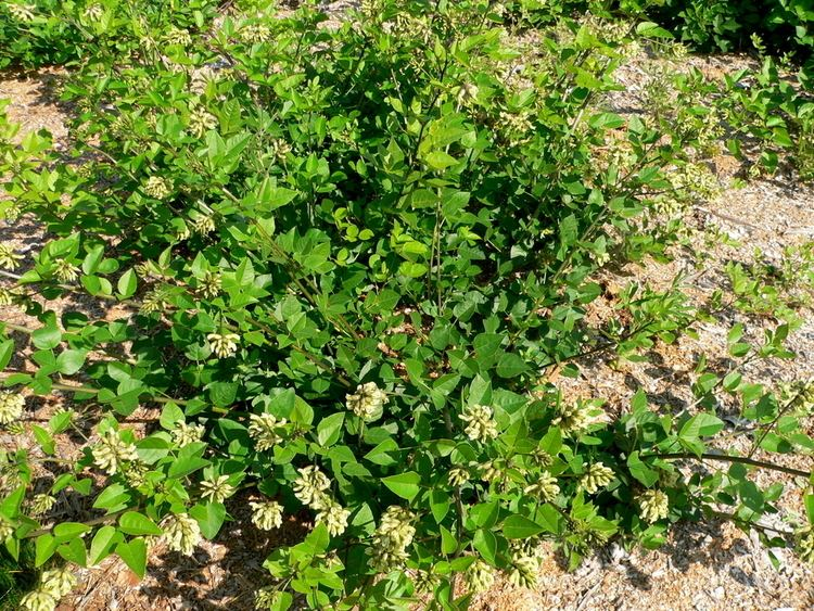 Rupertia Scurf Pea Rupertia physodes Wholesale
