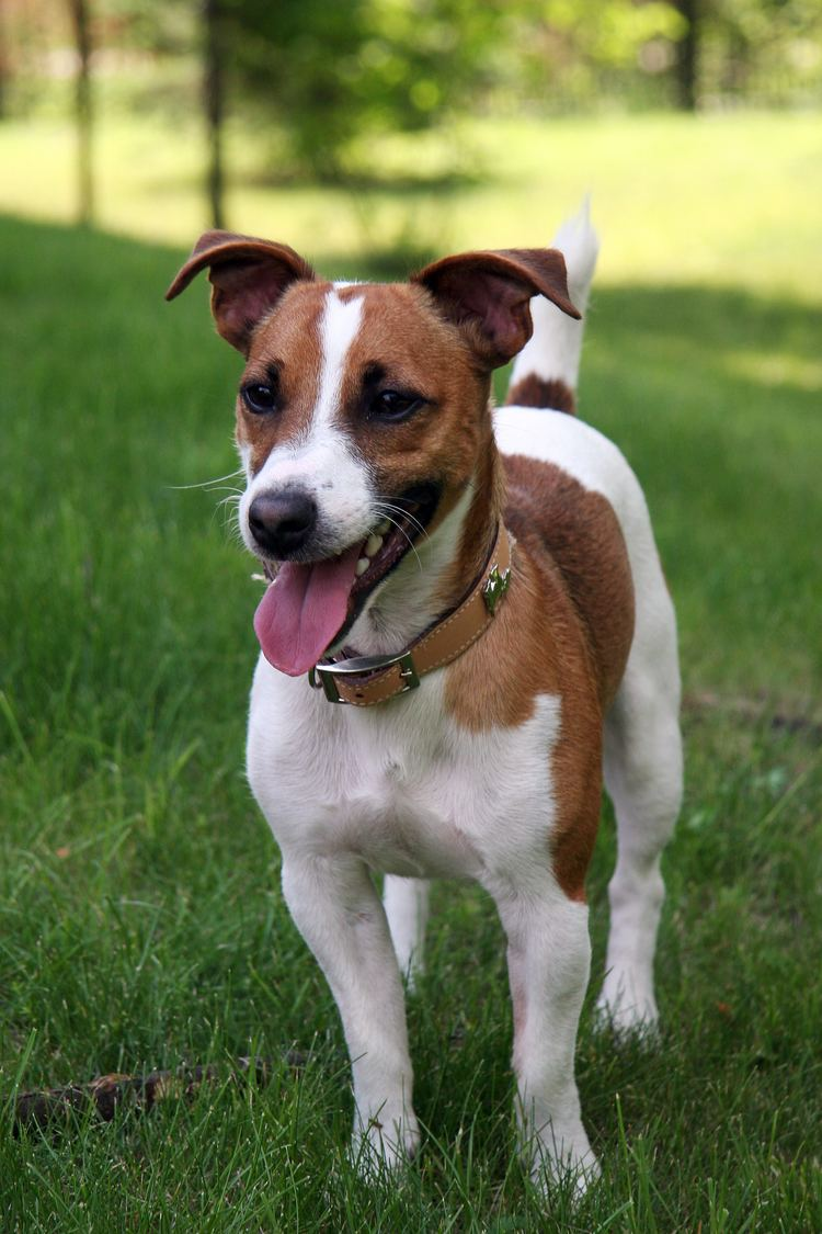 Russell Jack Jack Russell Terrier Simple English Wikipedia the free