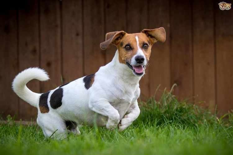 Russell Jack The hugely popular Jack Russell terrier Pets4Homes