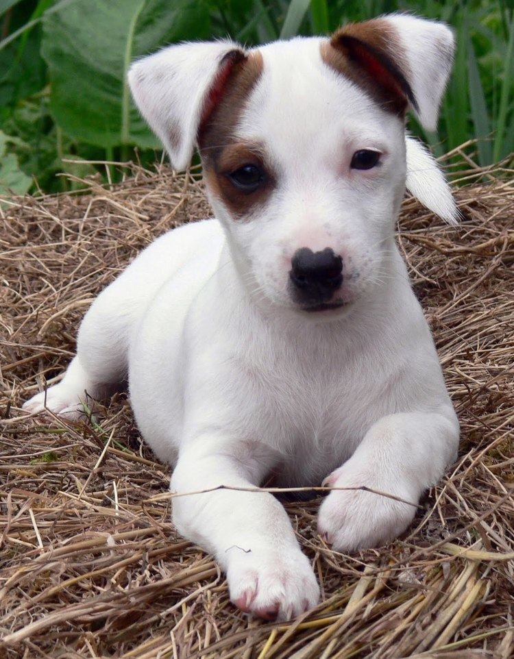 Russell Jack Jack Russell Terrier Wikipedia the free encyclopedia