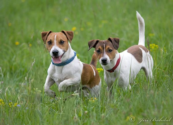 Russell Jack ecards with jack russell terriers