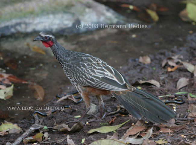 Rusty-margined guan margined Guan Penelope superciliaris