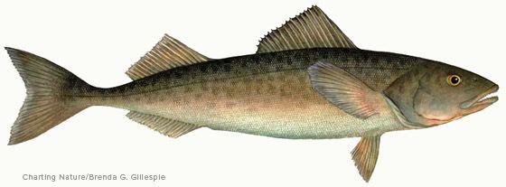 Sablefish Black Cod