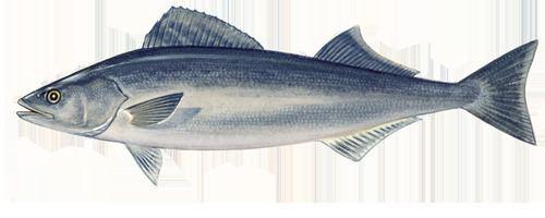 Sablefish Sablefish