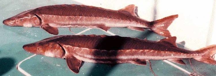 Sakhalin sturgeon photos1bloggercomblogger762218971600Acipens
