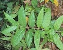 Salacia oblonga Bioactives American brings first GRASaffirmed salacia oblonga
