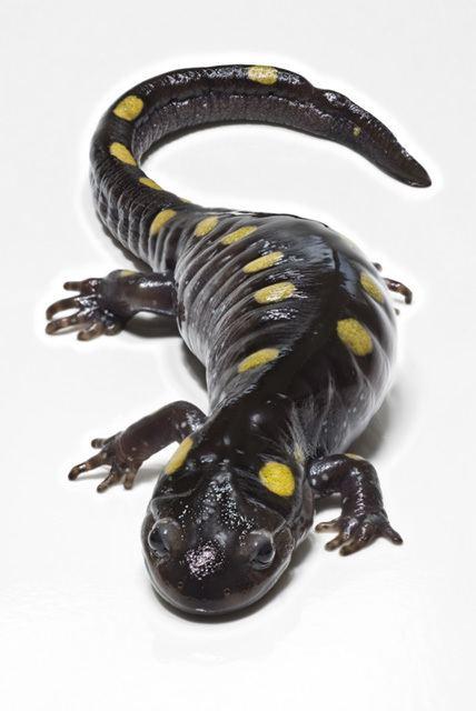 Salamander httpsuploadwikimediaorgwikipediacommonsbb