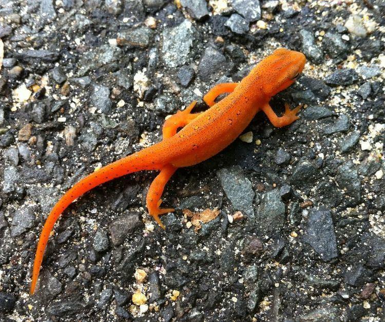 Salamander Spotted Salamanders Spotted Salamander Pictures Spotted Salamander