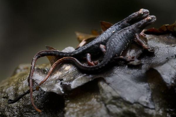 Salamandrina Salamandrina terdigitata Spectacled salamander JuzaPhoto