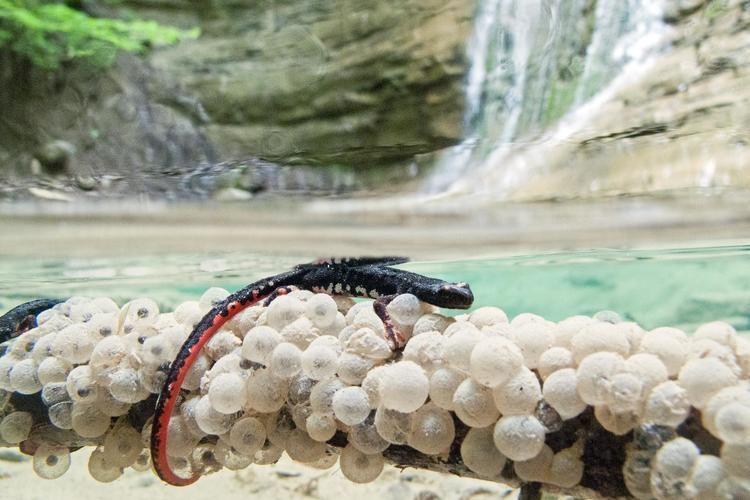 Salamandrina Spectacled Salamander Salamandrina dagli occhiali Salamandrina