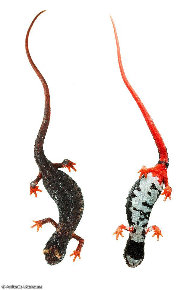 Salamandrina wwwantoniomancusoitimagesnewssalamandrina201