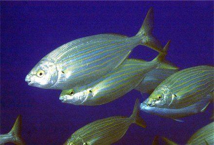 Salema porgy Salema Porgy Salpa Salpa Cyprus Scuba Diving Holiday Blog