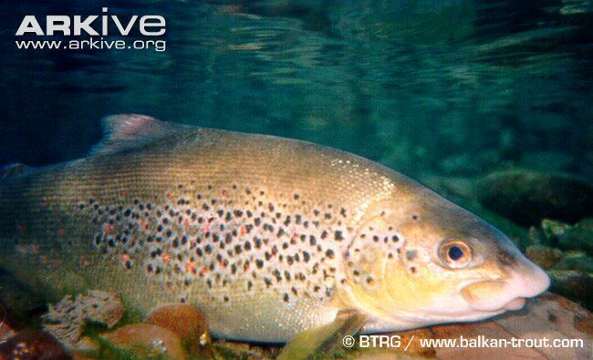 Salmo obtusirostris Adriatic salmon photo Salmo obtusirostris G68360 ARKive