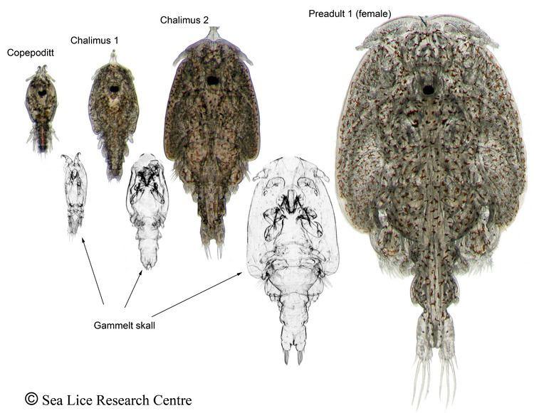 Salmon louse slrc The Atlantic Salmon Louse