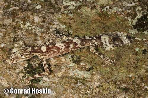 Saltuarius AROD Reptiles Squamata Gekkonidae Saltuarius ARODcomau