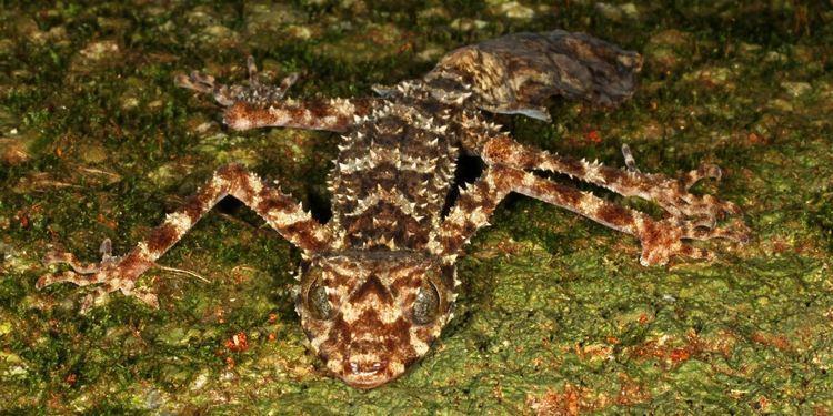 Saltuarius Saltuarius eximius New Species of LeafTailed Gecko Found in