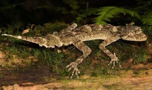 Saltuarius Moritzs leaftailed gecko Saltuarius moritzi at the Australian