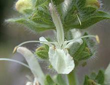 Salvia austriaca httpsuploadwikimediaorgwikipediacommonsthu