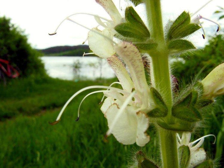 Salvia austriaca Panoramio Photo of Salvia austriaca