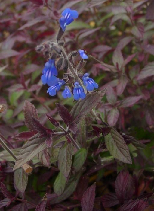Salvia sinaloensis Salvia sinaloensis most amazing blue of any flower Favorite