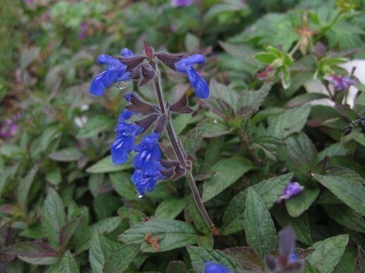 Salvia sinaloensis Salvia sinaloensis Planting growing and propagating information