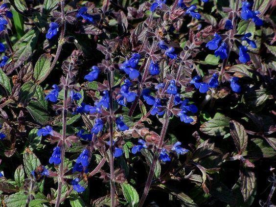 Salvia sinaloensis Salvia sinaloensis to 18quot Zanzibar Pinterest Gardens Grey and