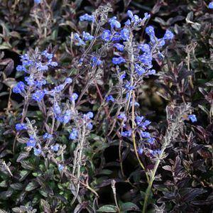 Salvia sinaloensis wwwsmgrowerscomimagedbSalviasinaloensisjpg