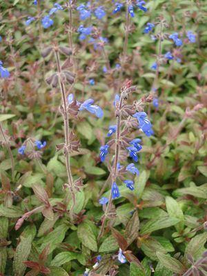 Salvia sinaloensis Salvia sinaloensis 3939 Salvia Blue from Mortellaros
