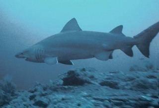 Sand shark wwwdiscoverlifeorgIMIRR0000320Odontaspidid