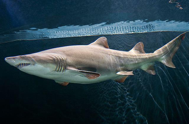 Sand shark National Aquarium Sand Tiger Shark