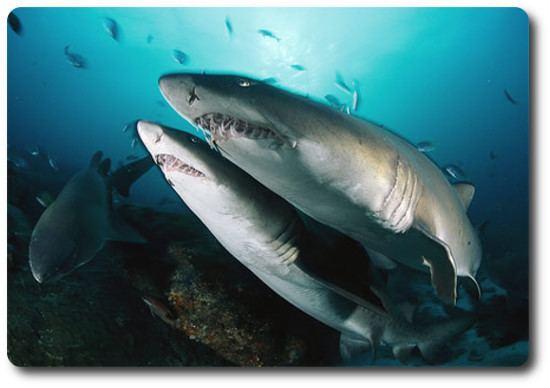 Sand shark The Sand Shark Is Another Of Many Species Of Shark Shark Sider