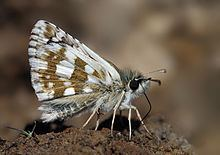 Sandy grizzled skipper httpsuploadwikimediaorgwikipediacommonsthu