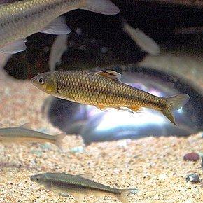 Sarcocheilichthys httpsuploadwikimediaorgwikipediacommonsthu