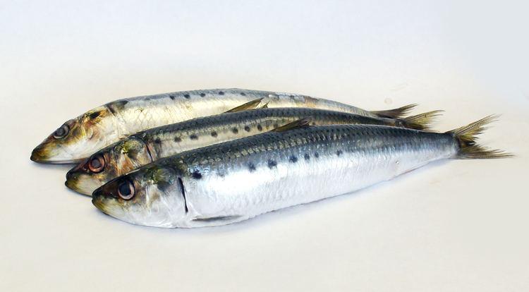 Sardine Sardines CatalinaOP