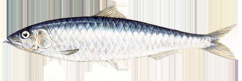 Sardine Sardines