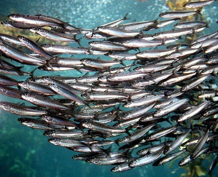 Sardine Sardine Fishing Banned in Pacific Northwest as Stocks Hit Historic