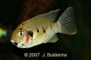 Sarotherodon Sarotherodon melanotheron Blackchin Tilapia Aquariumfish Database