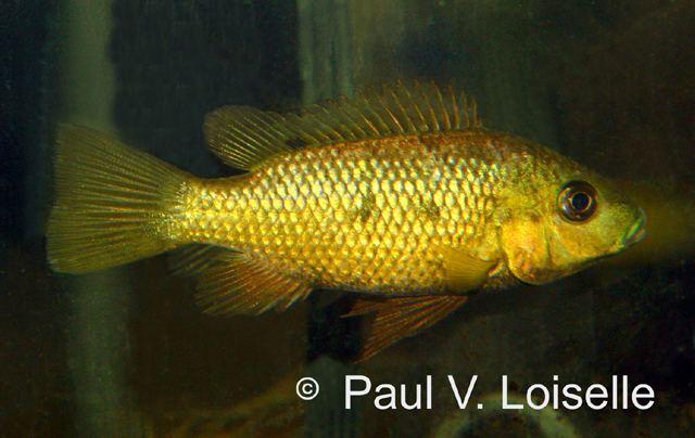 Sarotherodon Fish Identification